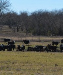Cattle at Bar None Ranch